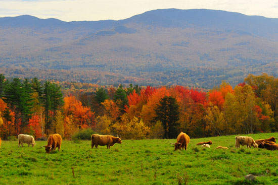 Scottish_Highland_Cattle_Autumn-web